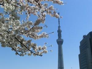 No.012 「桜に霞むスカイツリー」
