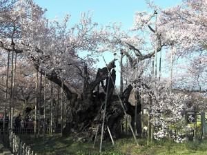 No.046 「樹齢2000年山高神大桜」