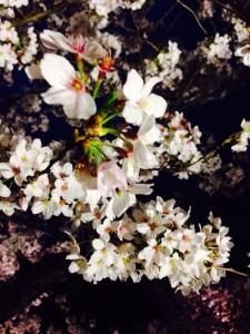 No.110 「夜桜」