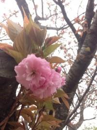 No49 八重桜
