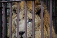 NO.004「百獣の王ライオン」