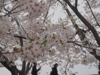 NO.098「花曇り」