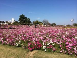 No.107 「秋桜」