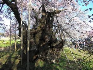 No.045 「山高神大桜の神々しさ」