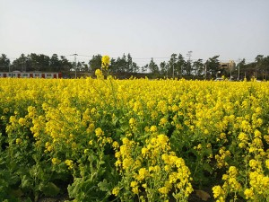 No.175 「JRと菜の花」