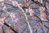 No51 田ノ頭郷のしだれ桜