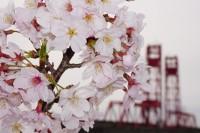 No53 桜と昇開橋
