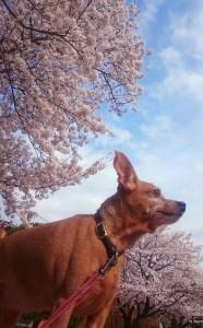 No58 春爛漫!愛犬と満開に咲き誇る桜