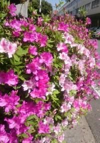 No59 ツツジが咲きました。