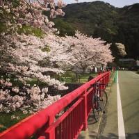 No71 猪野の桜