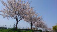 NO.087「桜並木と青い空」
