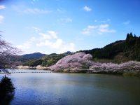No.115 庭木ダムの桜