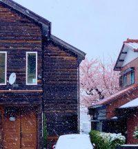 No.061 桜に季節外れの雪
