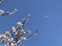No.092 桜と昼の月