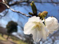 No.009 どんなときにも、桜は咲く