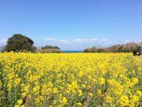 No.004 長崎鼻の菜の花