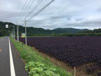 No.091 広大な紫蘇畑
