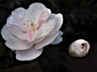 No.130 白い椿
