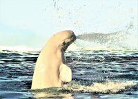 No.111 白イルカ海水をスプラッシュ