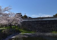 No.011 桜吹雪と福岡城潮見櫓