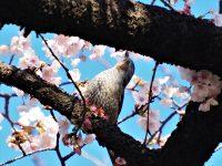 No.098 桜の蜜を吸うヒヨドリ