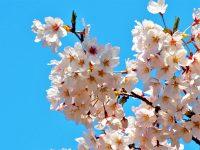 No.104 青空に映える満開の桜