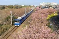 No.138 三浦の河津桜