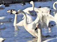 No.120 白鳥の羽ばたき