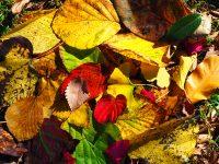 No.162 紅葉と枯れ葉