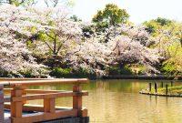 No.116 八幡宮源平池の桜