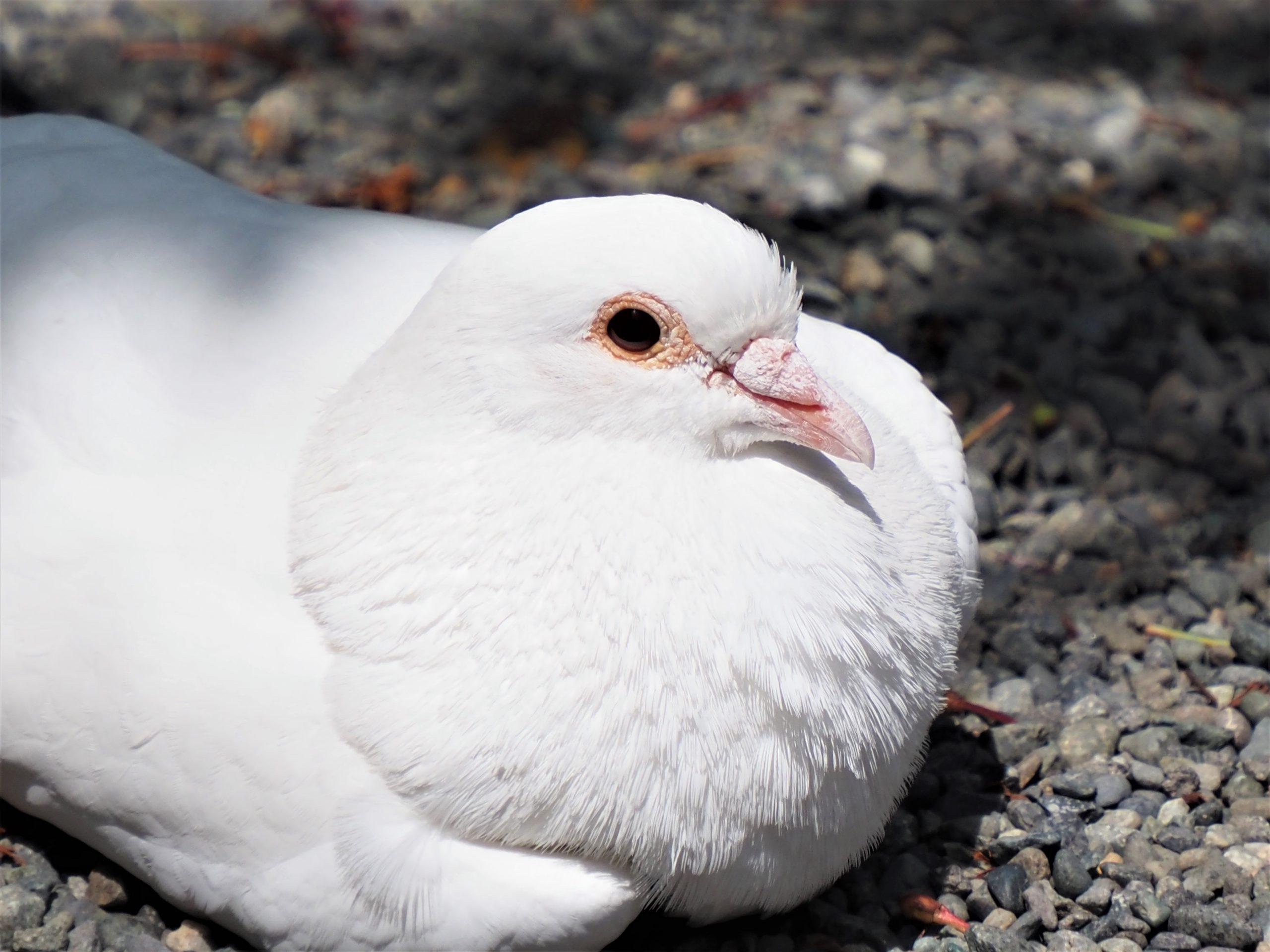 No.121 平和の白い鳩