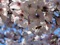No.106 蜜蜂が桜の蜜を求めて